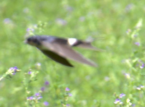 House Martin x Barn Swallow  - Roger Vila Ujaldon
