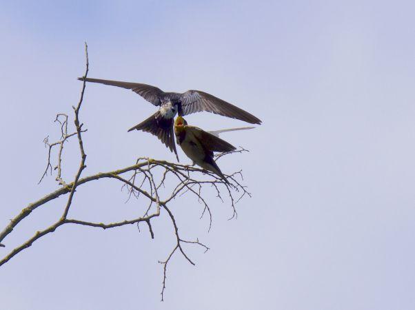 Hybrid Northern House Martin x Barn Swallow  - Roger Vila Ujaldon