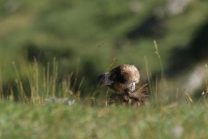 Eurasian Black Vulture  - Feli Guardado