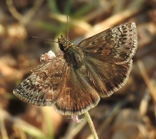 Dingy Skipper  - Marc Peris Miras