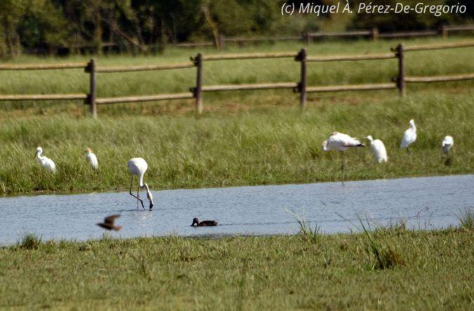 Greater Flamingo  - Miquel Àngel Pérez-de-Gregorio Capella