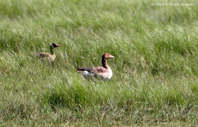 Greylag Goose  - Miquel Àngel Pérez-de-Gregorio Capella