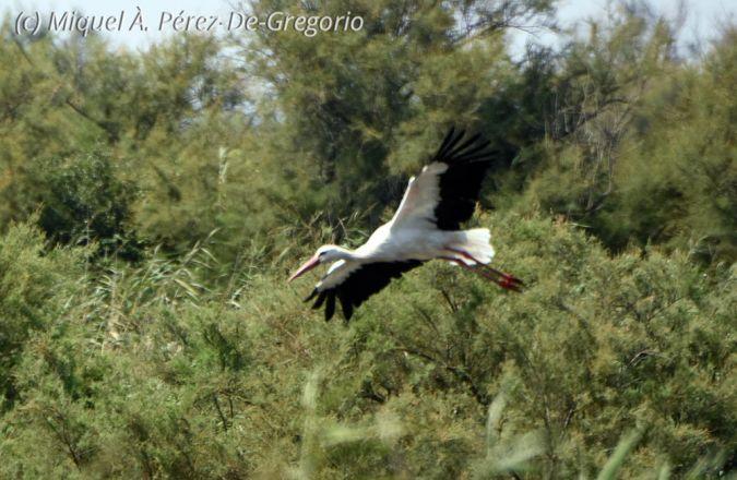 Cigogne blanche  - Miquel Àngel Pérez-de-Gregorio Capella