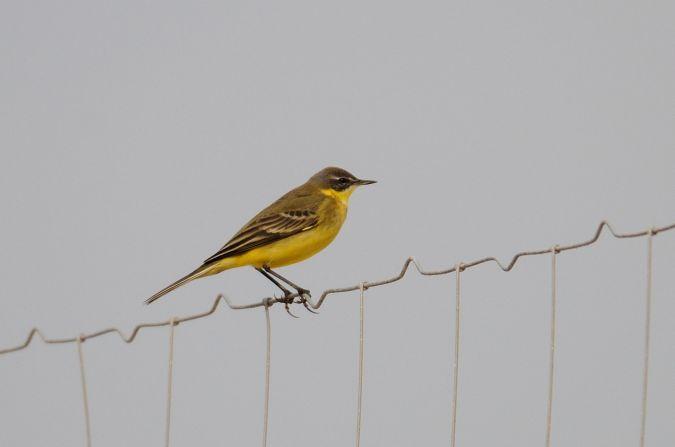 Western Yellow Wagtail  - Òscar Perez Petrus