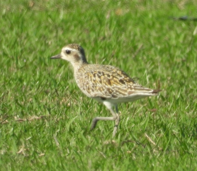 Pacific Golden Plover  - Ruiz-Jarillo Ramon