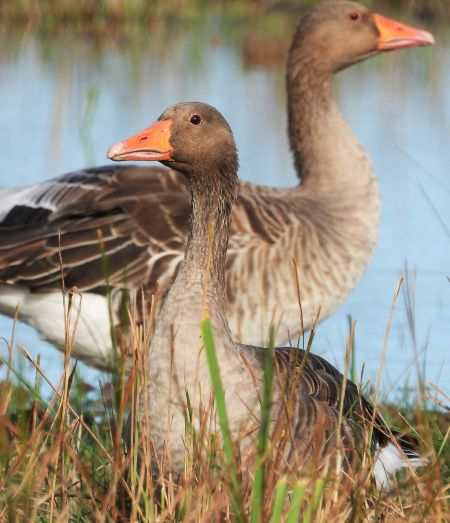 Greylag Goose  - Eulàlia Maspons