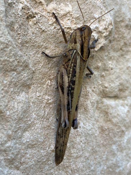 Locusta sp.  - Àlex Rollan
