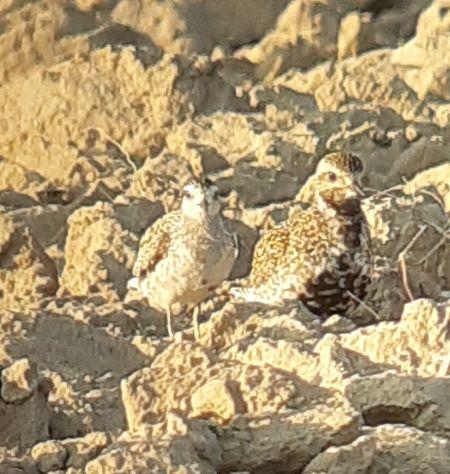 Pacific Golden Plover  - Josep Crusafont