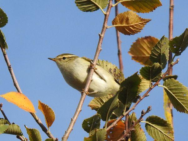 Yellow-browed Warbler  - Hubert Mas