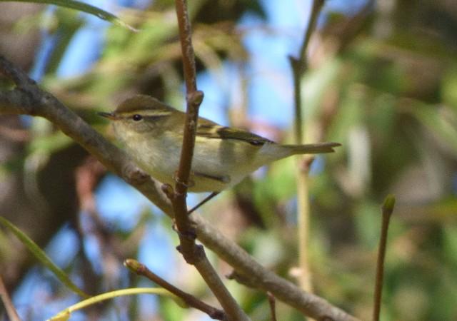 Yellow-browed Warbler  - Xavier Parra Cuenca