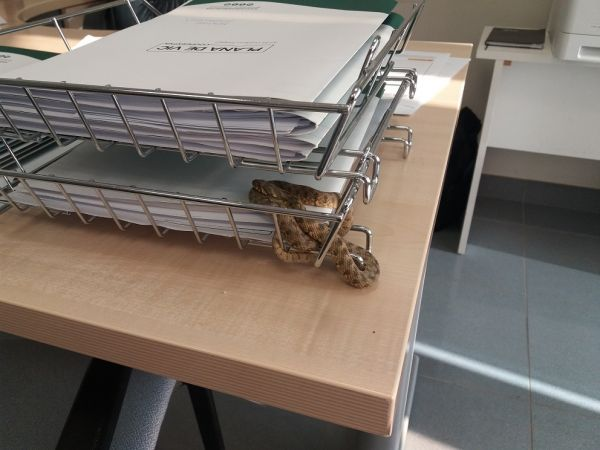 Viperine Snake  - Josep M. Prat