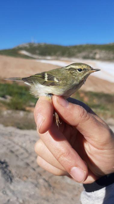 Yellow-browed Warbler  - Carlos Santisteban