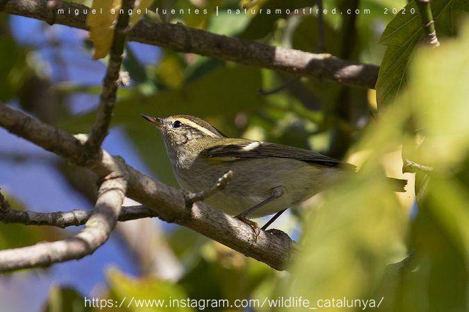 Yellow-browed Warbler  - Miguel Angel Fuentes