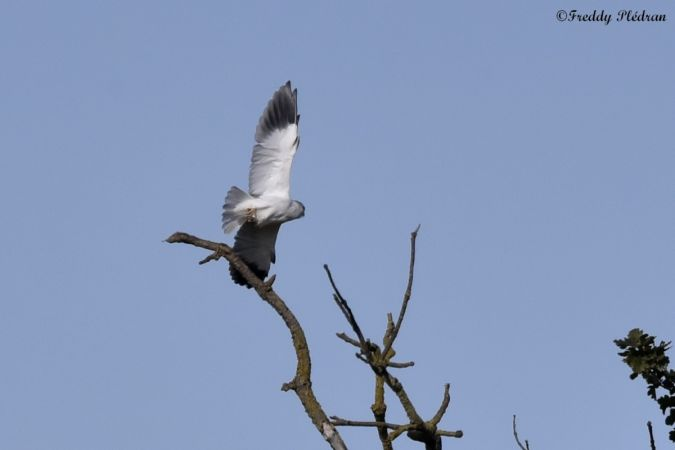 Black-winged Kite  - Freddy Plédran