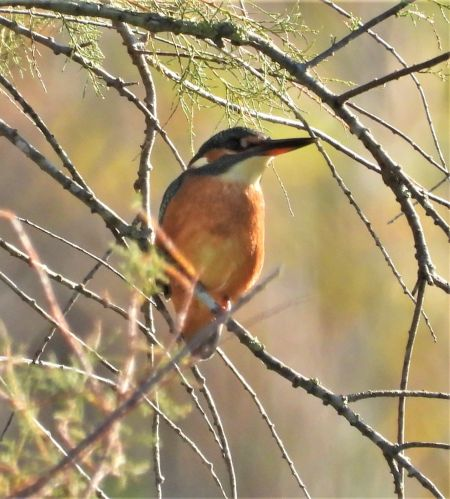 Common Kingfisher  - Eulàlia Maspons