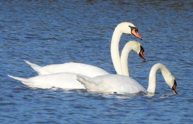 Mute Swan  - Eulàlia Maspons