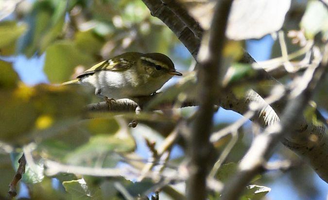 Yellow-browed Warbler  - Ricard Gutiérrez