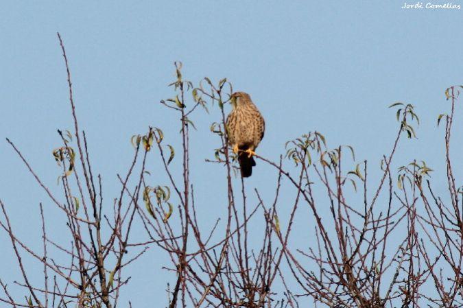 Common Kestrel  - Jordi Comellas Novell