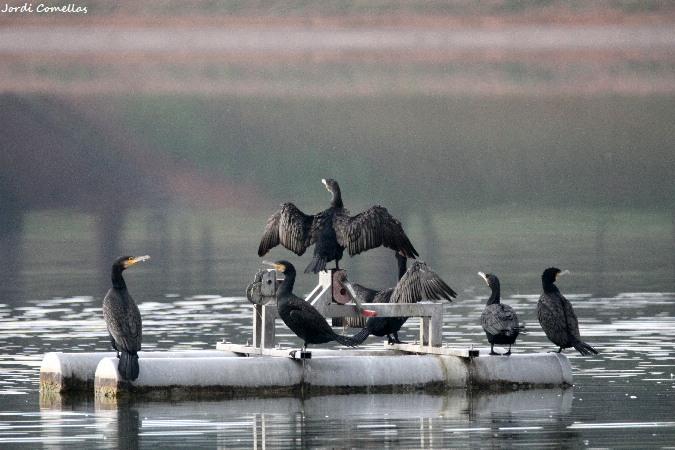 Great Cormorant  - Jordi Comellas Novell