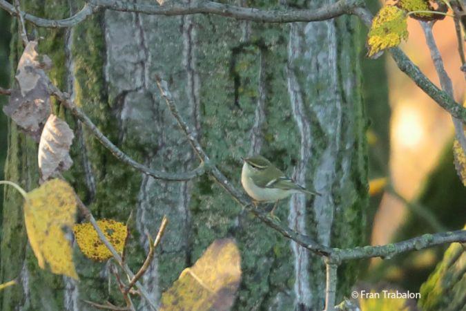Yellow-browed Warbler  - Fran Trabalon