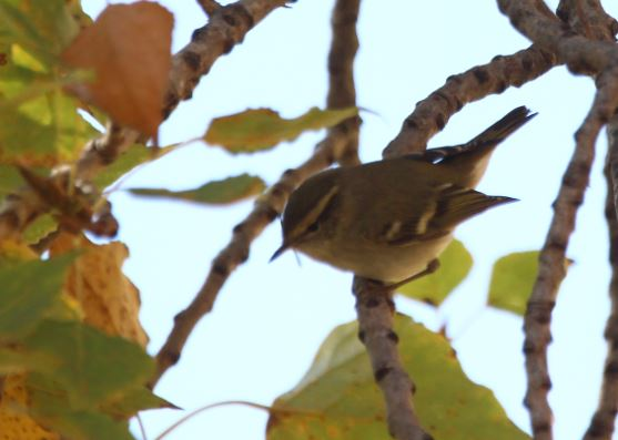 Yellow-browed Warbler  - Jaume Albaigès