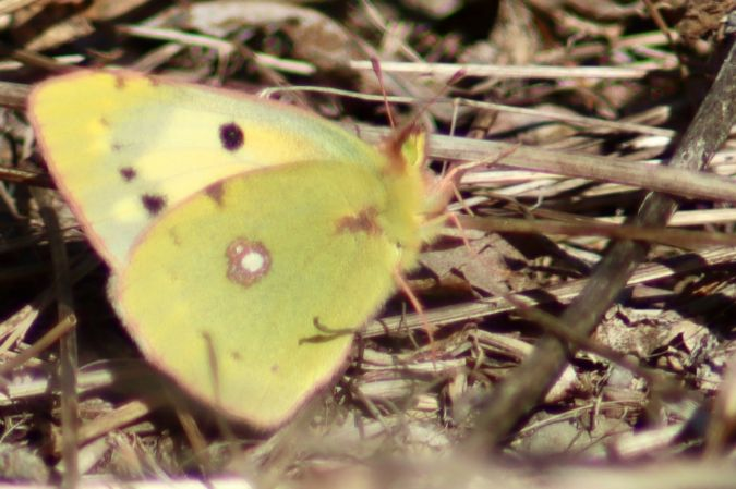 Clouded Yellow  - Lourdes Solano