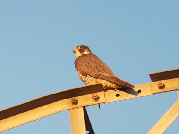 Peregrine Falcon  - Enric Badosa