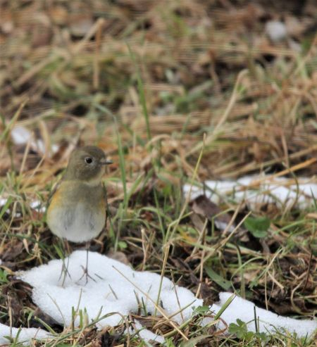 Red-flanked Bluetail  - Quim Minoves