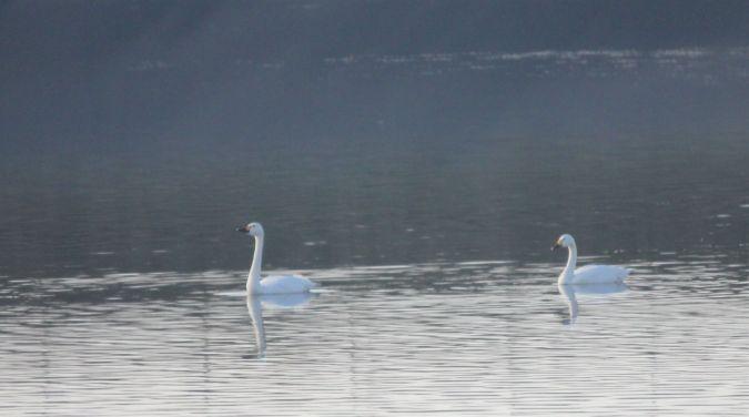 Cisne chico  - Quim Minoves