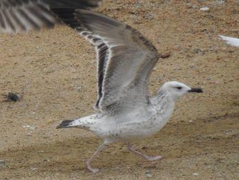 Caspian Gull  - Carlos Alvarez-Cros