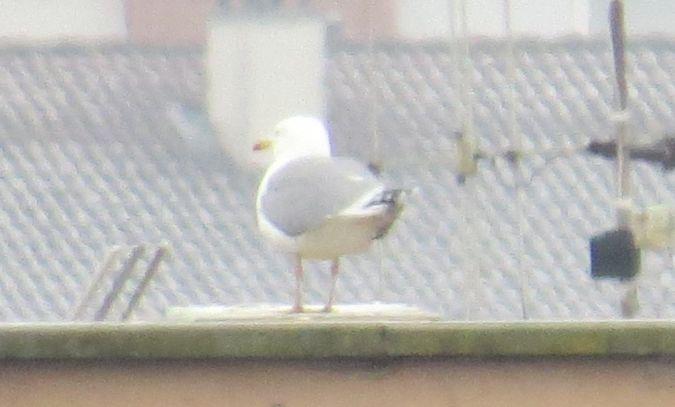 European Herring Gull  - Pancho Pou
