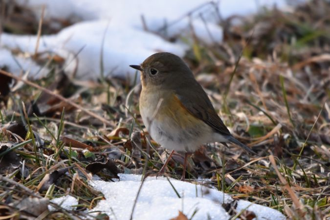 Red-flanked Bluetail  - Joan Beneyto