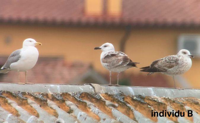 Caspian Gull  - Martí Franch