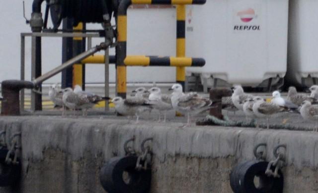 Caspian Gull  - Pere Josa Anguera