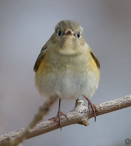 Red-flanked Bluetail  - Eduard Villar