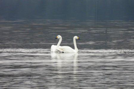 Bewick's Swan  - Ignacio López González