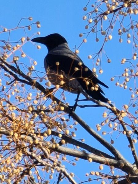 Hooded Crow  - Victor Cañadas