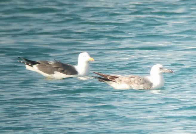 Caspian Gull  - Marc Olivé