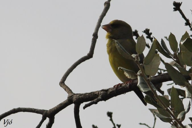 European Greenfinch  - Lluís Vilamajó