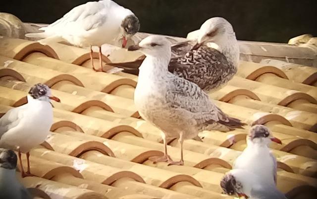 European Herring Gull  - Pere Josa Anguera