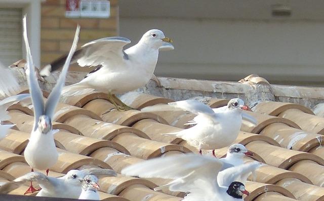 Common Gull  - Pere Josa Anguera