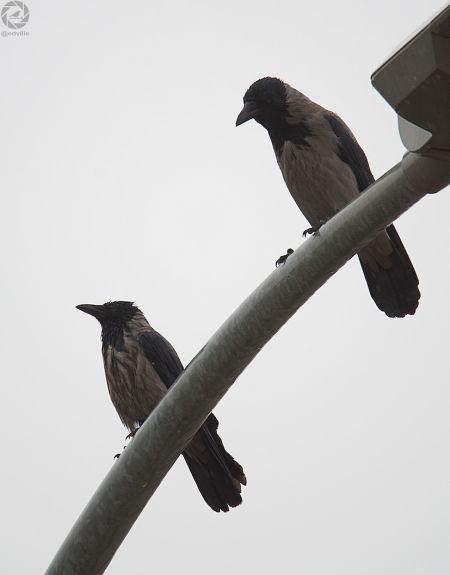 Hooded Crow  - Eduard Villar