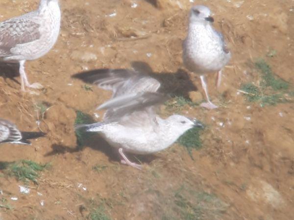 European Herring Gull  - Guillem Saguer Parés