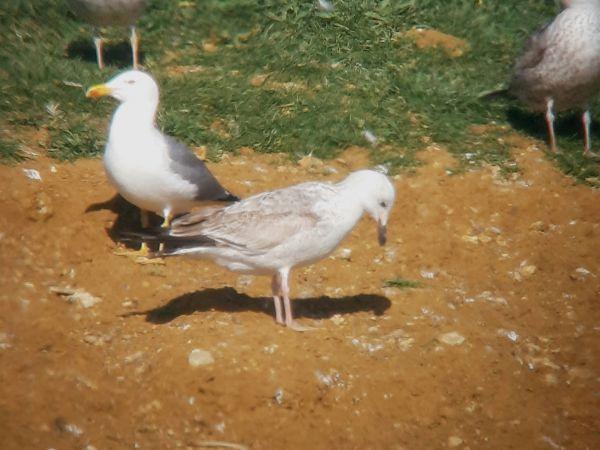 Caspian Gull  - Guillem Saguer Parés