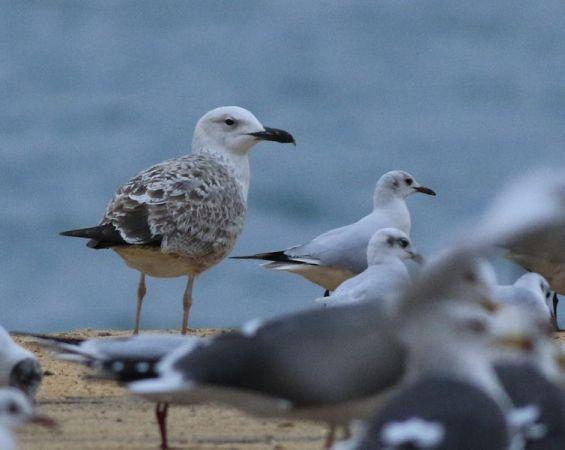 Caspian Gull  - Camilo Albert Fernández