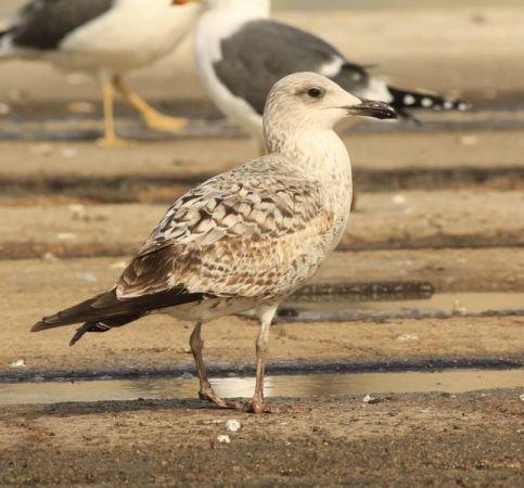 Yellow-legged Gull  - Camilo Albert Fernández