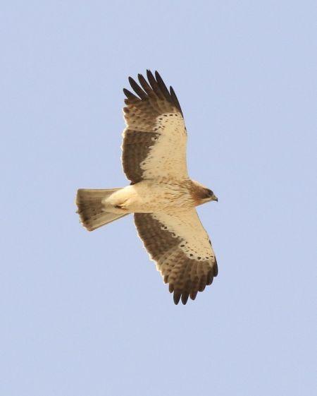 Booted Eagle  - Camilo Albert Fernández