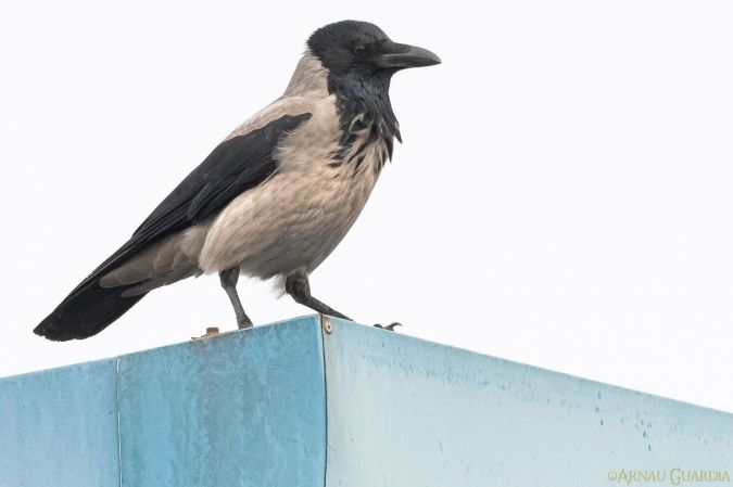 Hooded Crow  - Arnau Guardia