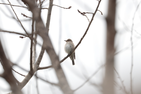 Balearic Spotted Flycatcher  - Pere Plans