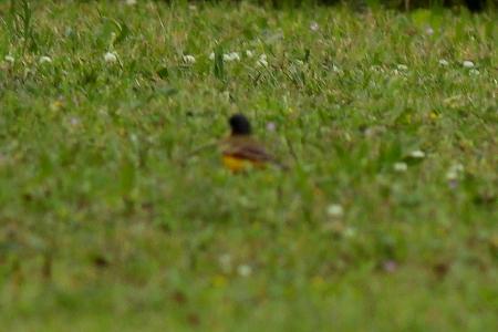Black-headed Wagtail (ssp. feldegg)  - Pere Plans